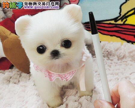 颜色全品相佳的博美犬纯种宝宝热卖中一分价钱一分货