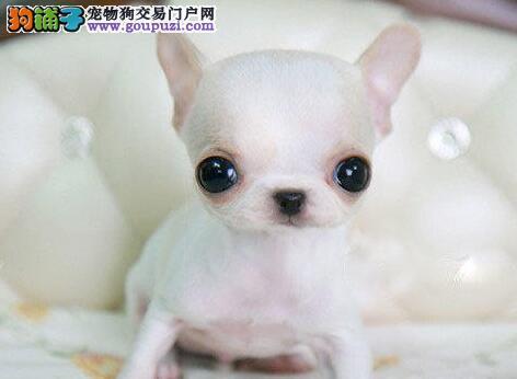 低价热销吉娃娃,纯正血统完善服务,微信咨询看狗