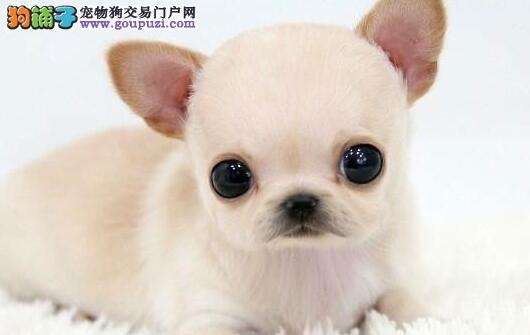 资阳超小体纯血墨西哥吉娃娃 苹果头大眼睛玩具犬