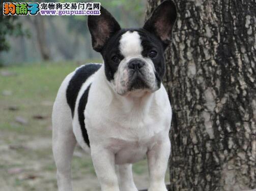 精品赛级法国斗牛犬,公母均有多只选择,等您接它回家