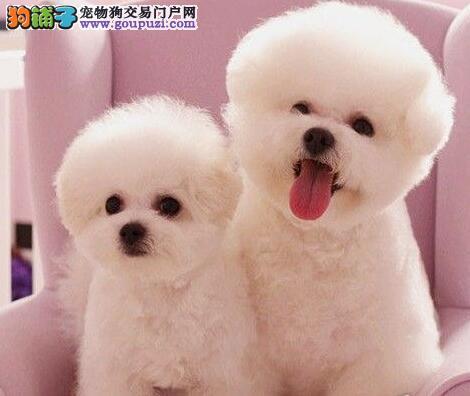 可爱的比熊宝宝低价转让出售纯种比熊幼犬