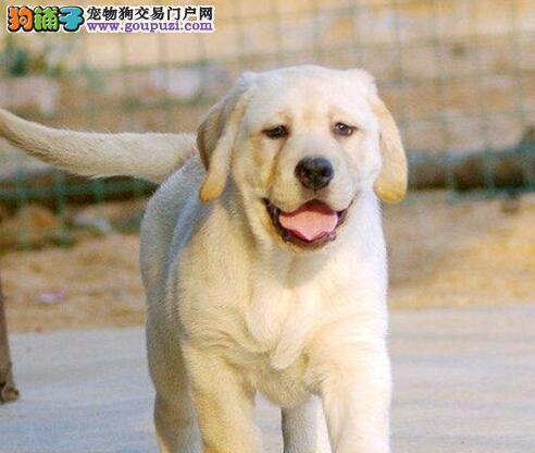 广州大型繁殖基地出售超高品质的拉布拉多犬非诚勿扰