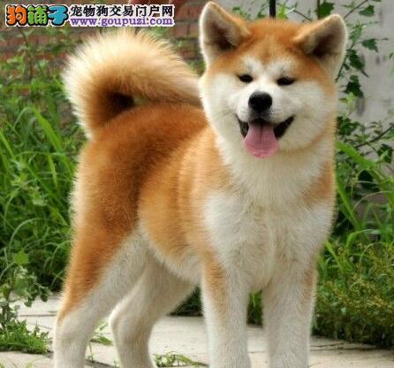 精品纯种秋田犬出售质量三包爱狗人士优先