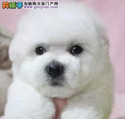 促销极品卷毛昆明比熊犬 可签订购犬合同保证质量