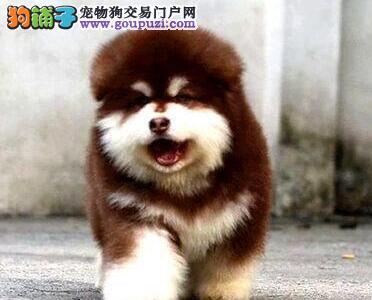 南京大骨架巨型阿拉斯加幼犬出售 包养活送用品