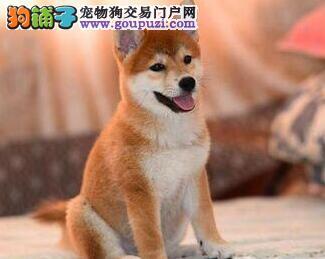 长沙本地犬舍出售日系秋田犬 可签订终身质保协议合同