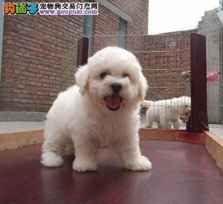广州哪里有卖比熊 纯种比熊一只多少钱 比熊犬价格