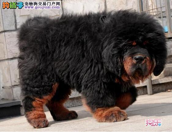 广州哪里有卖藏獒 纯种藏獒一只多少钱 藏獒犬价格