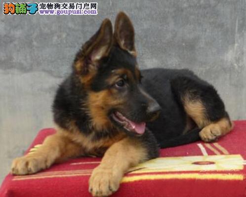 广州哪里有卖德国牧羊犬 纯种德牧一只多少钱 德牧价格