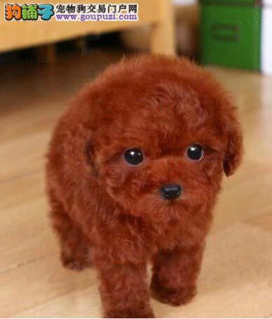 广州哪里有卖贵宾犬 纯种贵宾一只多少钱 贵宾犬价格