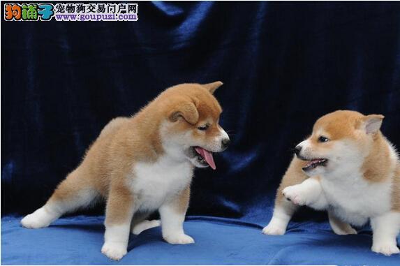 广州哪里有卖柴犬 纯种柴犬一只多少钱 日本柴犬犬价格