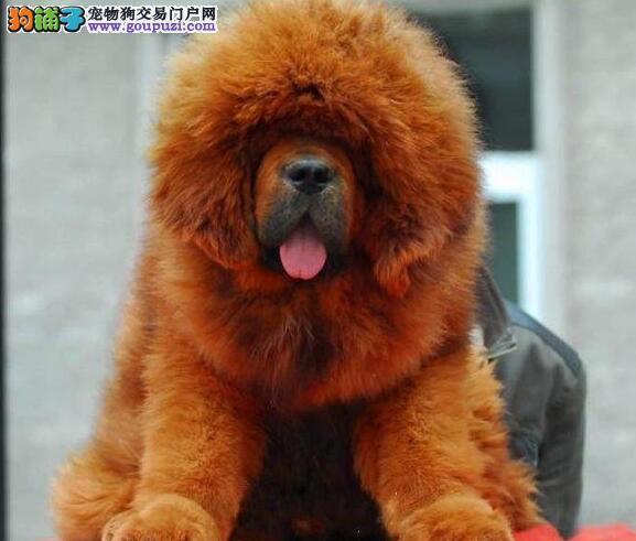 售血统纯正完美品相的南昌藏獒 狮子头铁包金血系