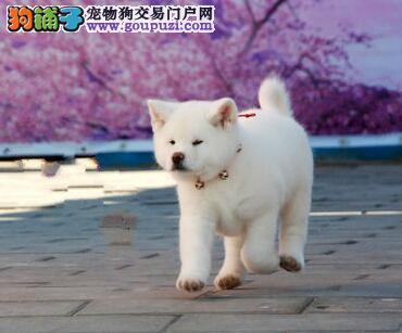 秋田犬中华田园犬杭州那里卖宠物狗那里卖健康狗狗