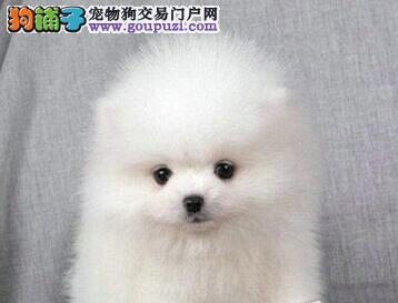 海口出售多种颜色的博美犬 带证书签合同 请您放心选购
