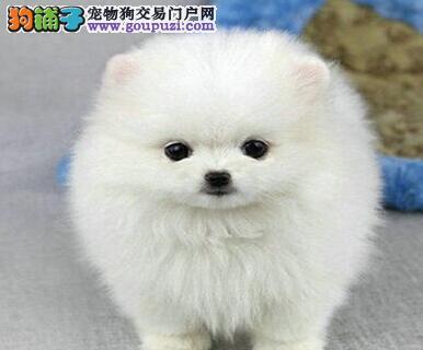 完美品相血统纯正博美犬出售价格美丽品质优良