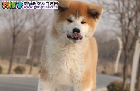 纯种健康日系秋田犬出售中 公母多只 喜欢的联系我