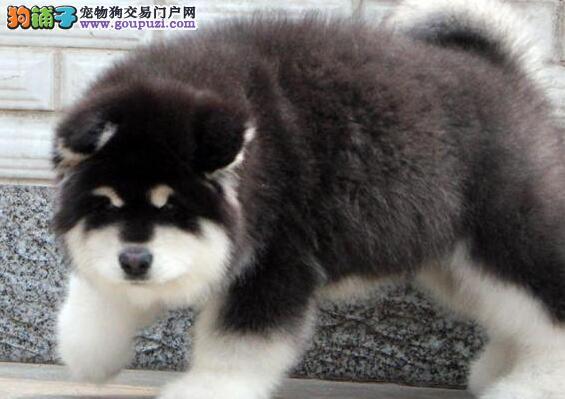 完美品相血统纯正安顺阿拉斯加犬出售狗贩子请勿扰