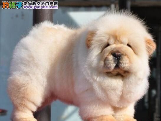 身体健康的深圳松狮犬直销出售 保证品质已驱虫有合同