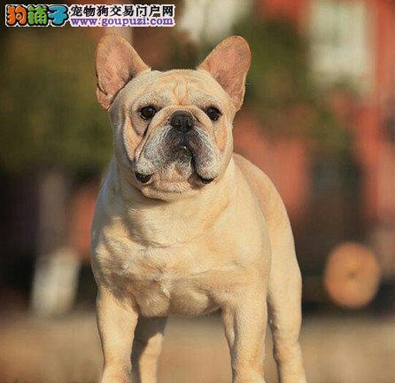 高品质法国斗牛犬热销 CKU认证绝对保障 三年联保协议
