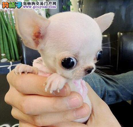 苹果头超小体大眼睛的南京吉娃娃幼犬出售中 欲购从速