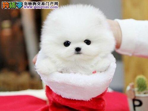 纯种博美幼犬 品质保证 签协议保障 多色可选