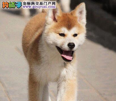 昆明养殖场转让多只日系秋田犬 仅限爱狗人士选购爱犬