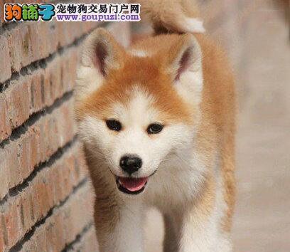 日系血统品相极佳的大庆秋田犬找新主人 可送货上门