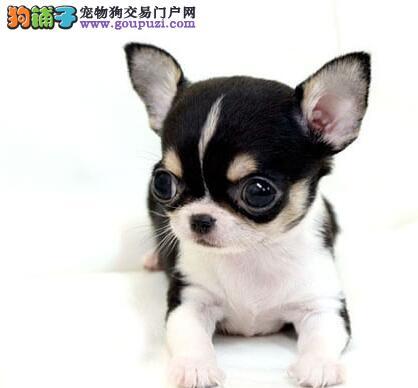 南京大型狗场出售苹果头吉娃娃好品相超小体