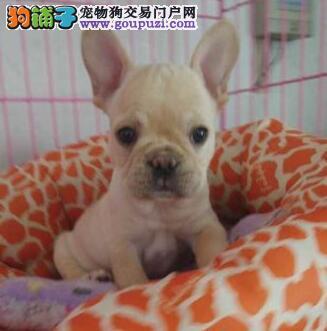 专业实体店直销斗牛犬南京市区内购犬有礼品