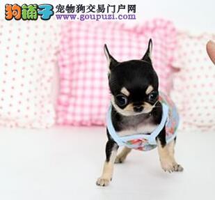 邢台出售极品吉娃娃幼犬完美品相价格美丽品质优良