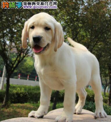 养殖场直销精品开封拉布拉多犬品种好证书全
