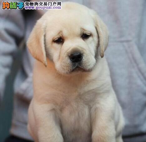 基地直销顶级哈尔滨拉布拉多犬公母都有签协议