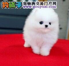 低价促销纯种哈多利版博美犬 上海周边可免邮费货运