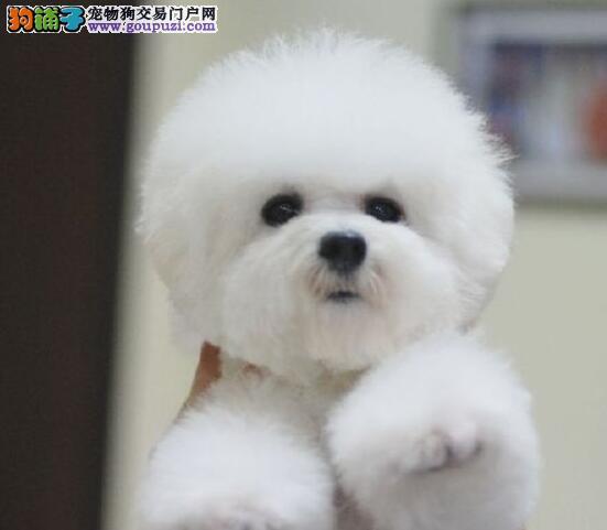 低价转让超可爱比熊犬南京周边地区可送用品