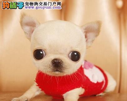 超小赛级吉娃娃幼犬 质量保证健康 欢迎上门选购