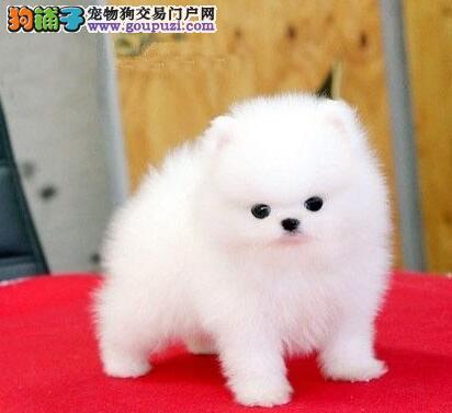 哈尔滨家养多只博美犬促销可见父母保证健康
