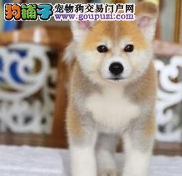 大型实体店直销赛级日系徐州秋田犬品质好签协议