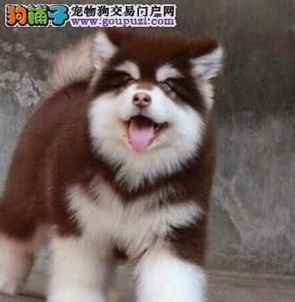 精品阿拉斯加幼犬 大阿 阿拉斯加雪橇犬公狗成都出售