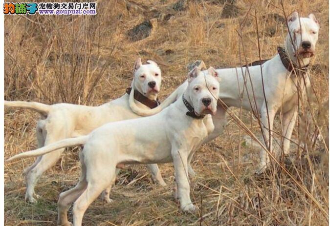 杜高犬 不以价格惊天下 但以品质惊世人保证冠军级血统