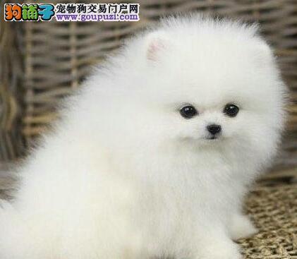 特价出售纯种名犬 漂亮大眼睛博美