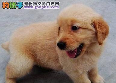 金毛武汉CKU认证犬舍自繁自销一宠一证视频挑选