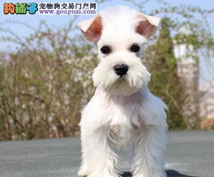 椒盐色深灰色的柳州雪纳瑞幼犬热卖中 放心选购爱犬
