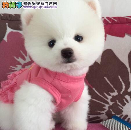 信誉犬舍直销哈尔滨博美犬 已做驱虫可签订保障协议