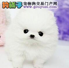 出售纯种哈多利版南京博美犬 血缘清楚当面购买更优惠