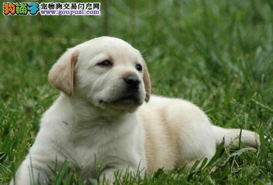 养殖场直销高品质郑州拉布拉多犬可签协议
