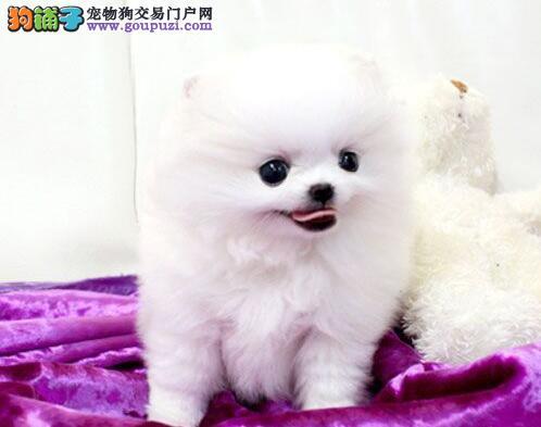 直销邯郸博美犬品质上乘 绝对赛级犬附带血统证书