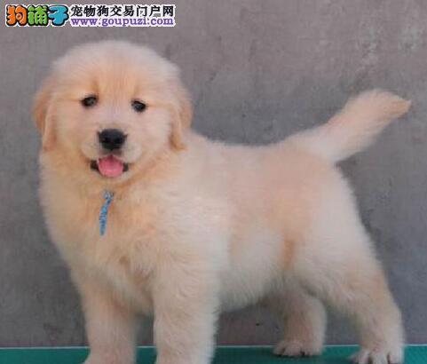 赛级品相重庆金毛幼犬低价出售购犬可签协议