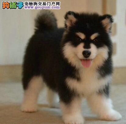 犬舍转让健康纯种哈尔滨阿拉斯加犬 包纯种价格可优惠