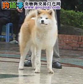 繁殖基地出售极品秋田幼犬品相极佳