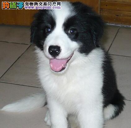 CKU犬舍认证出售高品质乌鲁木齐边境牧羊犬下单有礼全国包邮